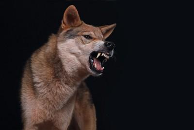 歯を剥いて唸る犬、黒い背景