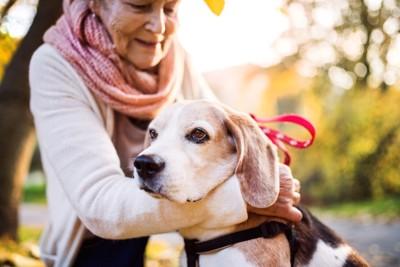女性と散歩する老犬ビーグル