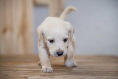 歩きにくそうな子犬