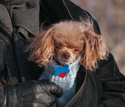 セーターを着て飼い主に抱かれたトイプードル