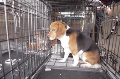 【救助劇】実験動物として飼育されていた犬達が、人生で初めてケージの外へ・・・