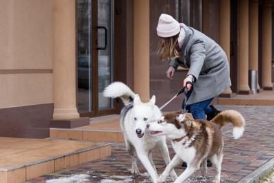 リードをつけた2匹のハスキー犬に引っ張られる女性