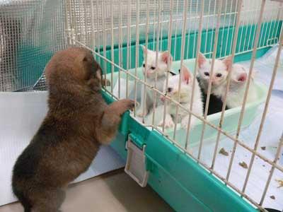子犬と子猫・猫のケージのを覗く子犬