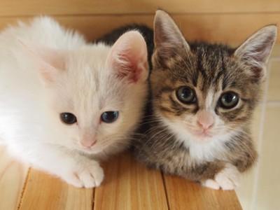 子猫2匹 白とキジトラ