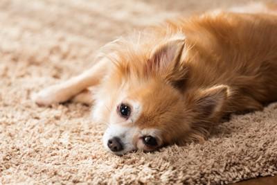 カーペットに横になって寝そべるチワワ