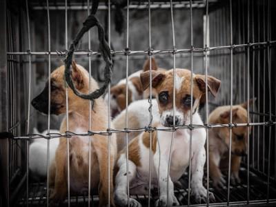 ケージに入れられているたくさんの子犬