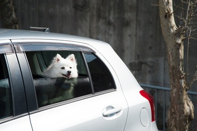 車でおとなしく待つ犬