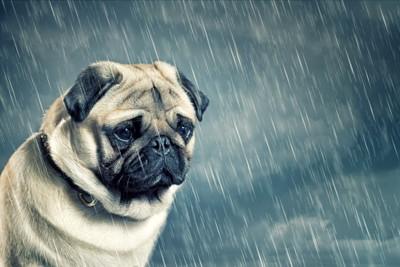 雨に打たれるパグ