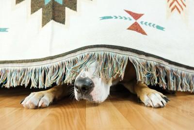 布の裏に隠れて鼻を出している犬