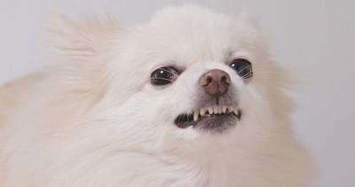 歯をむき出して怒っている犬