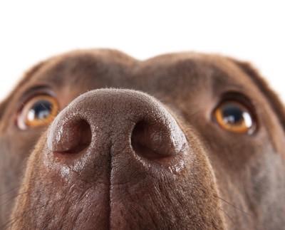 茶色い犬の鼻