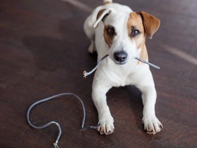 ケーブルを齧る犬
