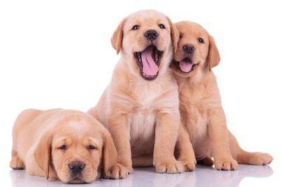 寄り添う3匹のラブラドールレトリバーの幼犬