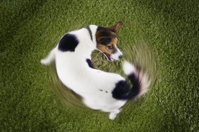 グルグルと回転する犬