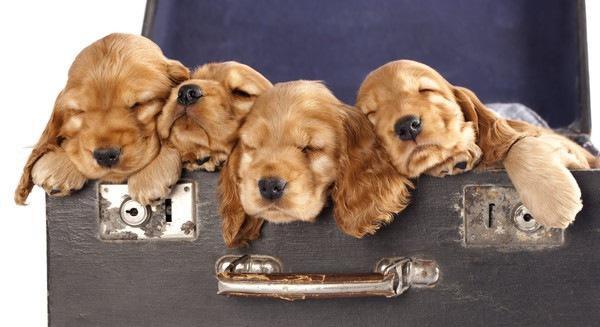 トランクで眠るイングリッシュコッカースパニエルの子犬達