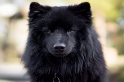 古代犬種スウェーディッシュラップフンド