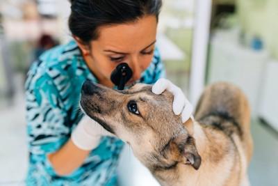病院で獣医師に目を診察されている犬