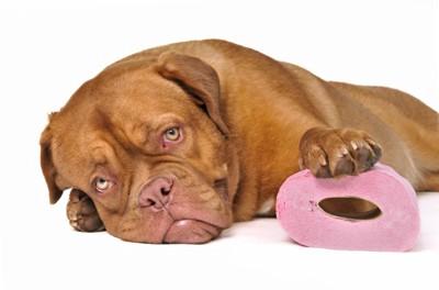 トイレットペーパーとマスチフの子犬