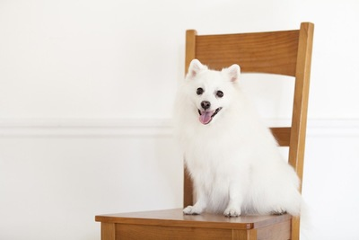 イスに座っている犬
