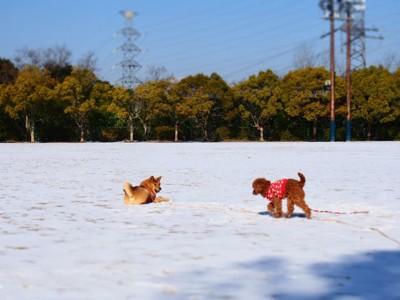 雪原にシバとトイプードル