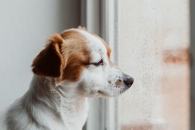 切ない表情で窓の外を見る犬、窓に水滴