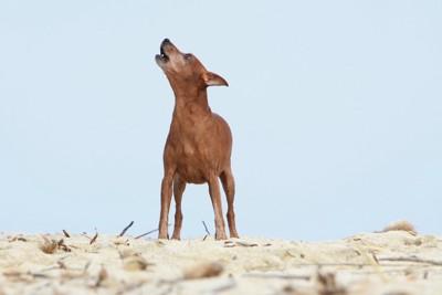 遠吠えする犬