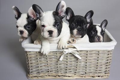 4匹のフレンチブルドッグ