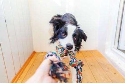 縄のオモチャを引っ張る犬