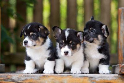 おすわりする3匹のコーギーの幼犬