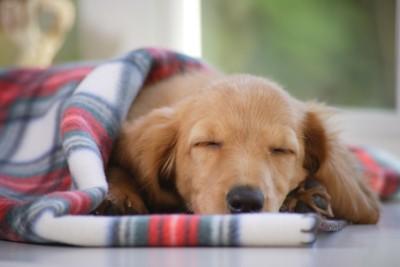 ブランケットにくるまって気持ちよさそうに寝ている犬