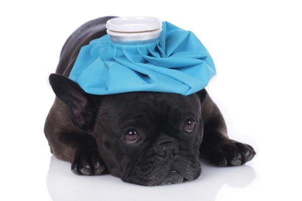 青い氷嚢を頭に乗せた黒いフレンチブルドッグ