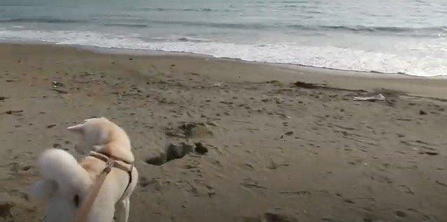 海にやってきた秋田犬