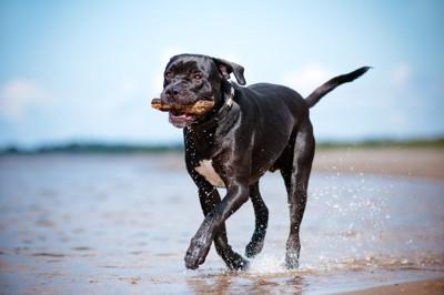 海岸を走る黒犬