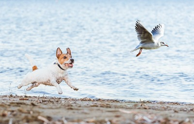 野鳥を追いかけるジャックラッセルテリア
