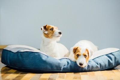 2匹の犬がベッドに乗る
