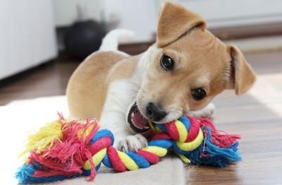 綱のおもちゃで一人遊びをする子犬