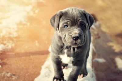ナポリタンマスティフの子犬