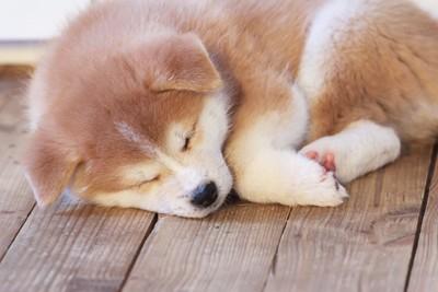 眠っている秋田犬の子犬