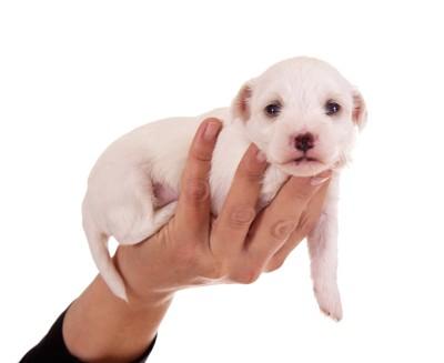 片手で持ち上げられる白い子犬