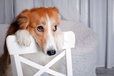 背もたれに手をかけて上目遣いの犬