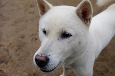紀州犬  203532604