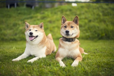 芝生に伏せる2頭の柴犬