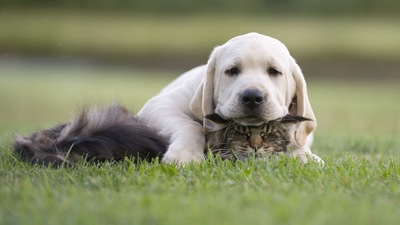 猫とラブラドールレトリーバーの子犬