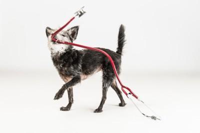聴診器を咥えて振り回す雑種犬