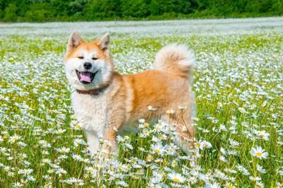 白い花に囲まれた秋田犬