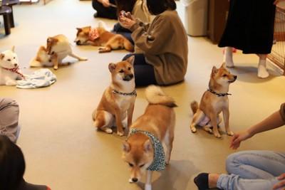 たくさんの柴犬と触れ合う人々