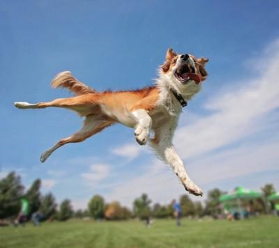 芝生でジャンプする犬
