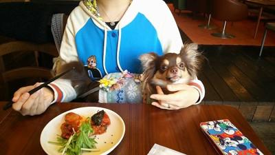 カフェで抱っこされているチワワ