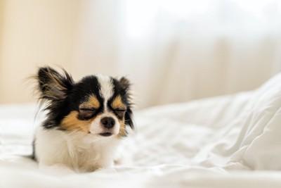 ベッドの上で座ったまま目を閉じるチワワ