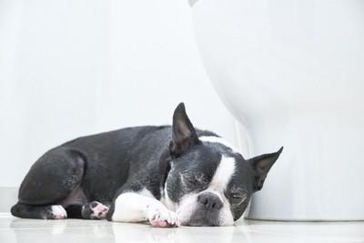 トイレの前で眠るボストンテリア